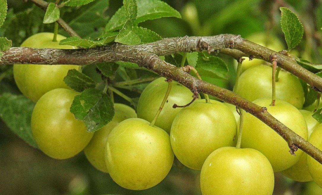 fruta Mirabel