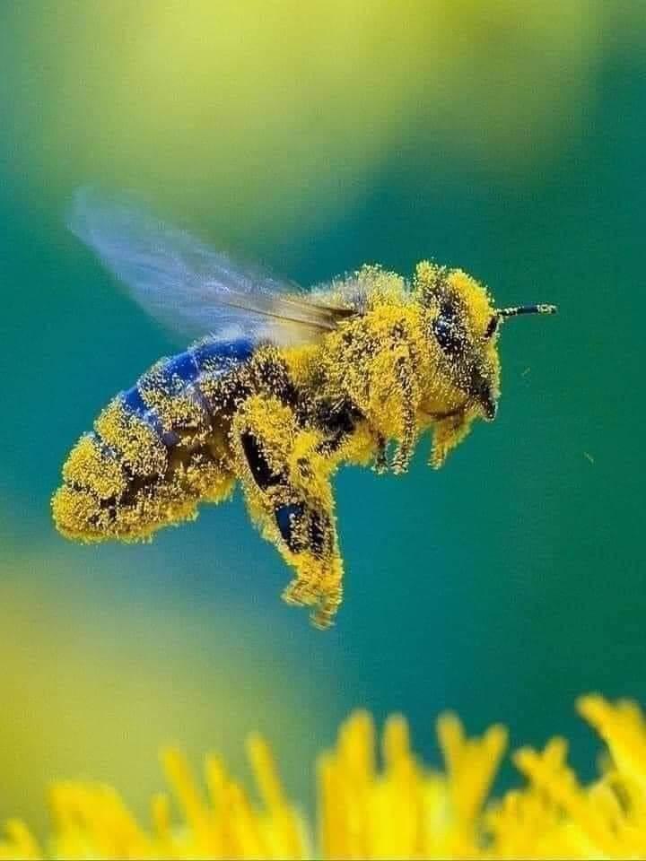 La abeja insecto polinizador