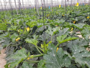 Plantación de calabacín ecológico en Almería