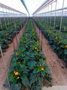 Cultivo calabacín ecológico en Almería